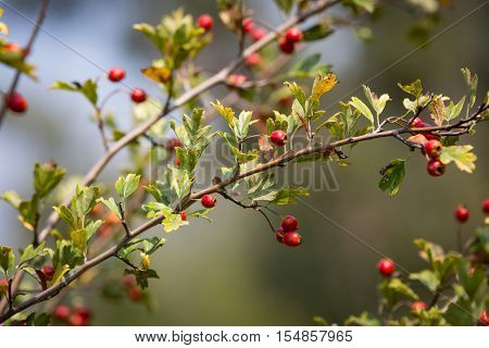 red berryes on hawthorn tree twig