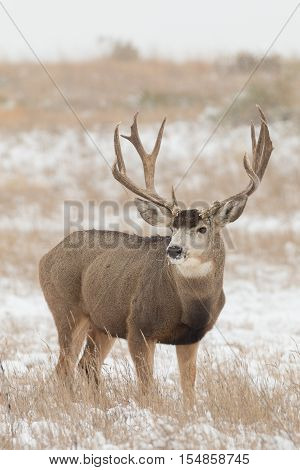 a big mule deer buck in a snow covered field