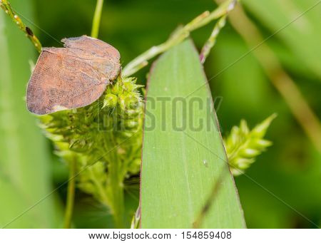 Closeup and a brown leaf-hopper sitting on a green plant