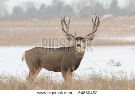 a big mule deer buck in snow