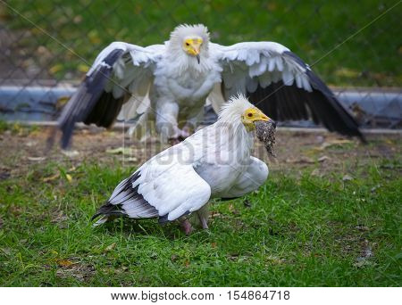 Vulture (neophron percnopterus) attacking and trying to take away the prey