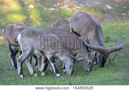 Several sheeps (Pseudois nayaur) eat grass in park