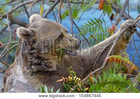 Brown bear (Ursus arctos) is eating leaves of a tree