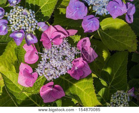 The beautiful purple and pink Hydrangea plant, Macrophylla Teller