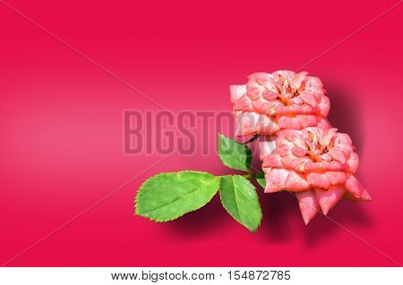 Roses on red color background. can be used as greeting card,invitation card for wedding