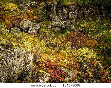 Low-growing, colorful autumn foliage with igneous rock in Iceland