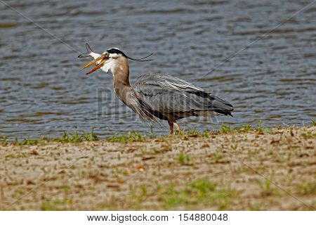 A Great Blue Heron gulps down a fish while standing on the shoreline. These large birds stalk along the shoreline before quickly grabbing a fish.