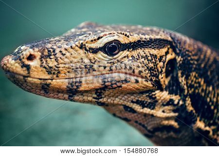 Closeup portrait of large lizard iguana in zoo arboreal species of lizard reptilia