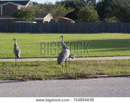 3 Sandhill Cranes wandering in a residential area in Lake Wales Florida