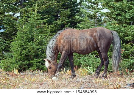 Wild Horse - Sooty colored Palomino Stallion grazing in the Pryor Mountain Wild Horse range in Montana USA