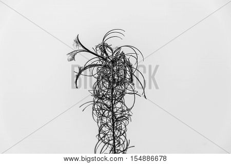 Silhouette Of Dead Tree Isolated In White BG