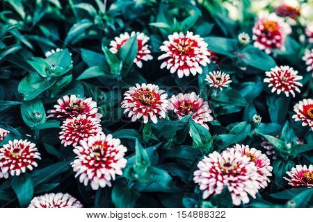 Beautiful fairy dreamy magic red and white zinnia flowers with dark green leaves retro vintage style soft selective focus blurry background copyspace for text