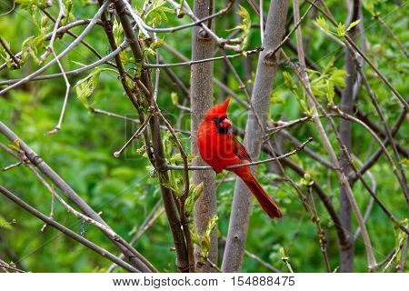 A male Northern Cardinal is perched on a branch. These vibrant birds contrast sharply with the surrounding foliage.