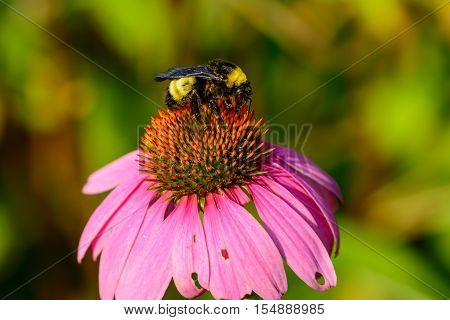 Bumble Bee On Pink Cone Flower (echinacea Purpurea)