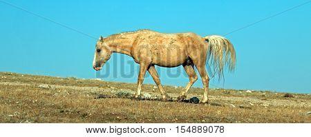 Palomino colored Wild Horse Band Stallion walking on Sykes Ridge in the Pryor Mountain Wild Horse range in Montana USA