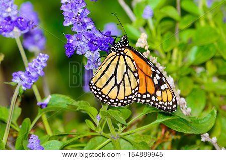 monarch (Danaus plexippus) gathering nectar from small violet flowers