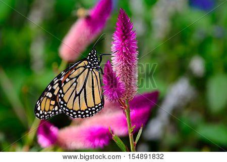 Monarch (danaus Plexippus) On Bright Pink Flowers