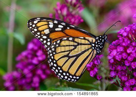 Monarch (danaus Plexippus) Sipping Nectar From Tiny Lavender Flowers