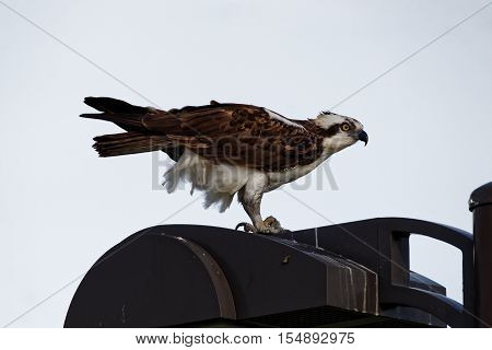 An Osprey perches on a light pole with a fish. These large hawks are comfortable in urban settings.
