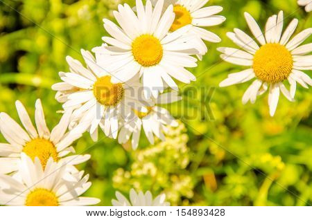 Daisy Flowers On A Summer Morning