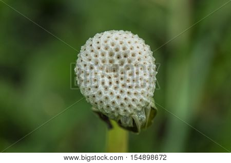 Close Up Of A Spent Dandelion In Natural Background