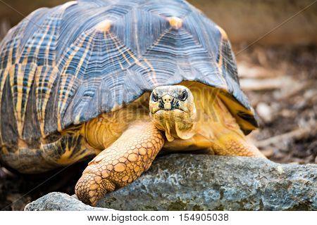 a Razor-Backed Musk Turtle (Sternotherus carinatus) Kinosternidae