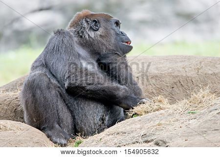 a gorilla sitting on a rock thinking