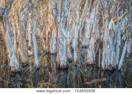 Paperbark trees growing in a swamp at Herdsman Lake in Perth in Western Australia.