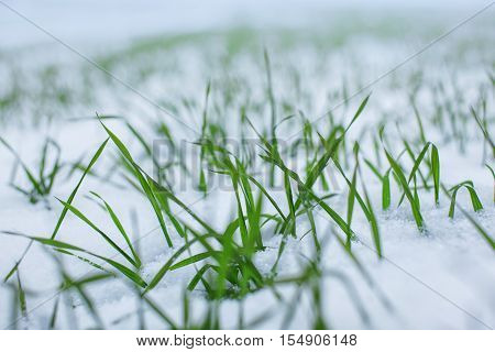 Autumn and Winter. Green wheat sprouts in the snow