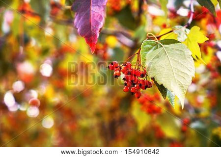 Autumn ash berry branch on blurred background