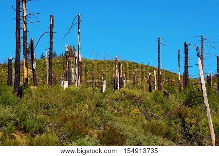 Charcoaled Pine Trees caused from a past wildfire surrounded by new growth plants and trees taken in the San Gabriel Mountains, CA