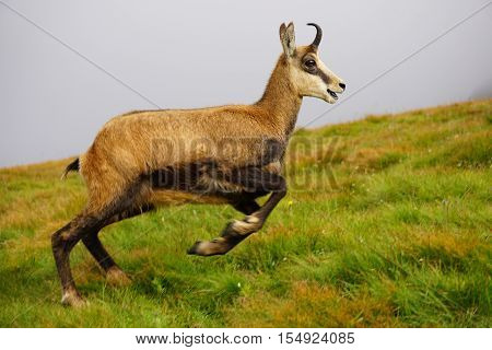 Running Tatra Chamois ( Rupicapra rupicapra tatrica )