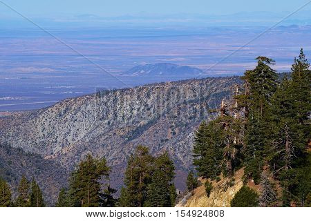 Pine Forest on a mountain ridge with the Mojave Desert beyond taken in the San Gabriel Mountains, CA