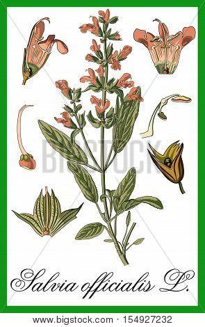 Sage herbal botanical education illustration art vector.
