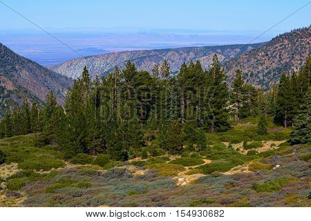 Pine Forest beside a meadow with the Mojave Desert beyond taken in the San Gabriel Mountains, CA