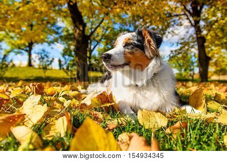 Cute Australian shepherd little blue merle puppy in autumn park
