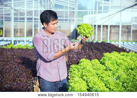 Organic vegetable salad Thailand, farmers are planting