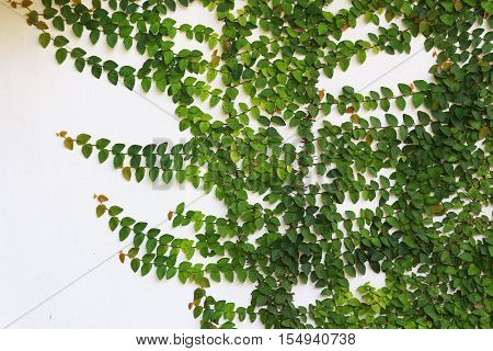 White wall with green beautiful climber plants