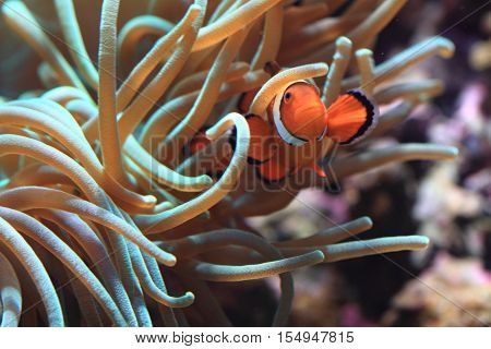 Clown Anemonefish As Nemo Fish