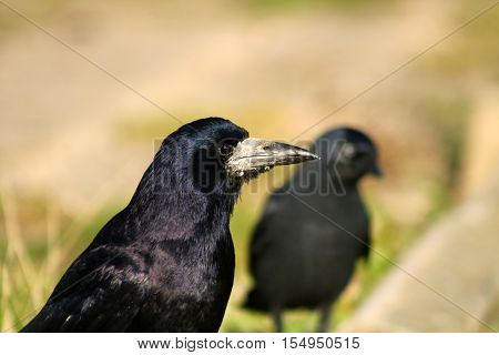 A Rook being watched by a curious Jackdaw