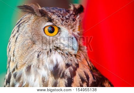A portrait of the European Eagle Owl