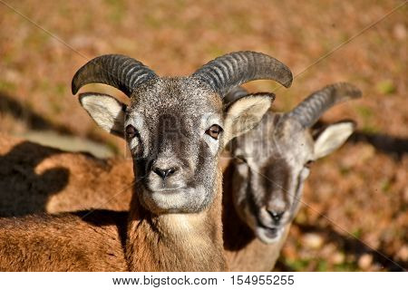 two billy goats gazing curiously into the camera