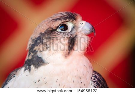 Portrait of American Kestrel (Falco sparverius) in Almossassa