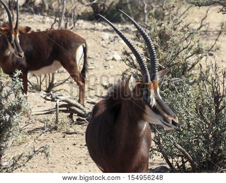 A Pair of Sable Antelope Hippotragus niger in the African Bush