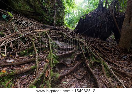 Fig tree roots in the deep jungle of Bako, Malaysia, Borneo