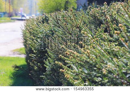 Coniferous tree (lat. Picea abies). Trimmed trees on city Avenue. Siberia Russia poster