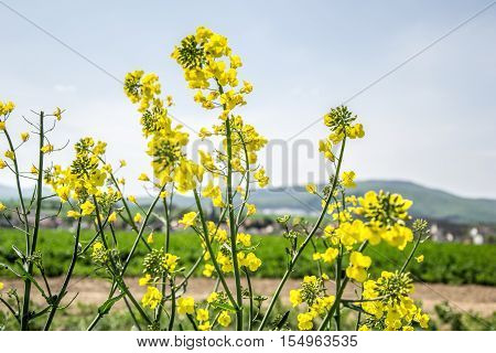 Field Of Yellow Flowering Oilseed Rape Isolated On A Cloudy Blue Sky In Springtime (brassica Napus),