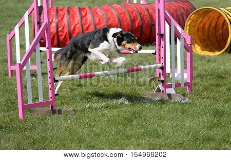 A Dog Leaping a Fence on an Agility Obstacle Course.
