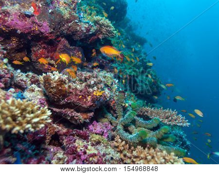 School Of Fishes Near Coral Reef, Maldives