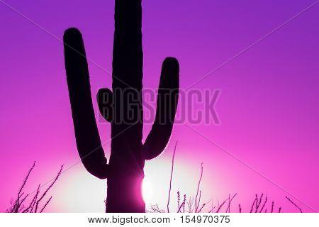 a saguaro cactus in the Arizona desert at sunset